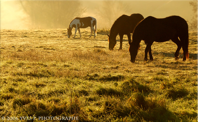 3 Horses in the morning light ... (Oct 2006)