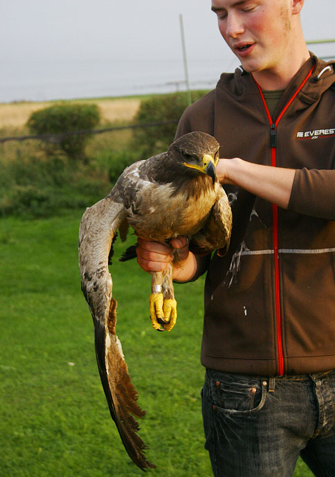 Steppe Eagle (Aquila nipalensis) 2K