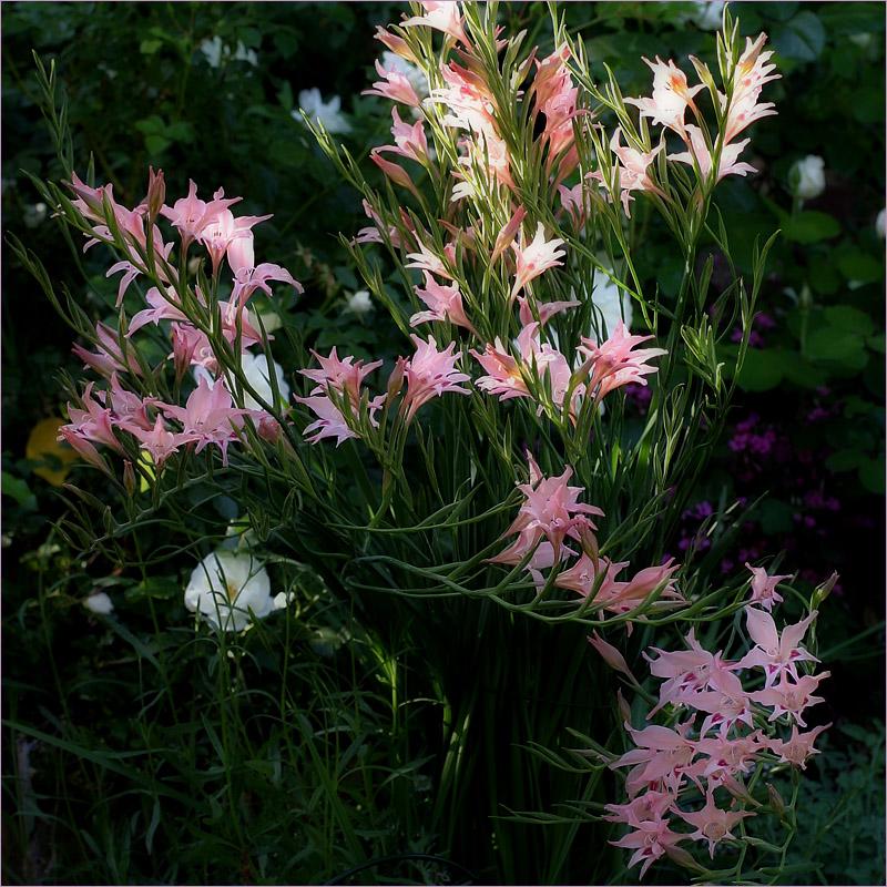Gladiolus nanus - evening light