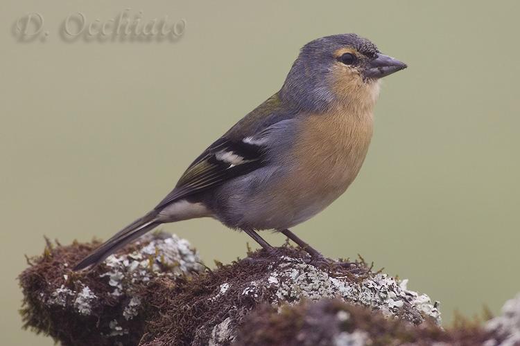 Chaffinch (Fringilla coelebs moreletti)