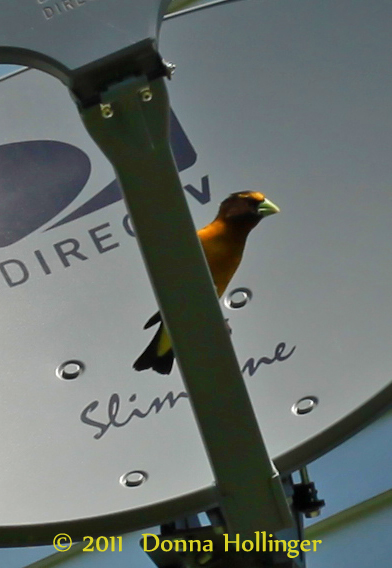 Male Evening Grosbeak on TV Dish