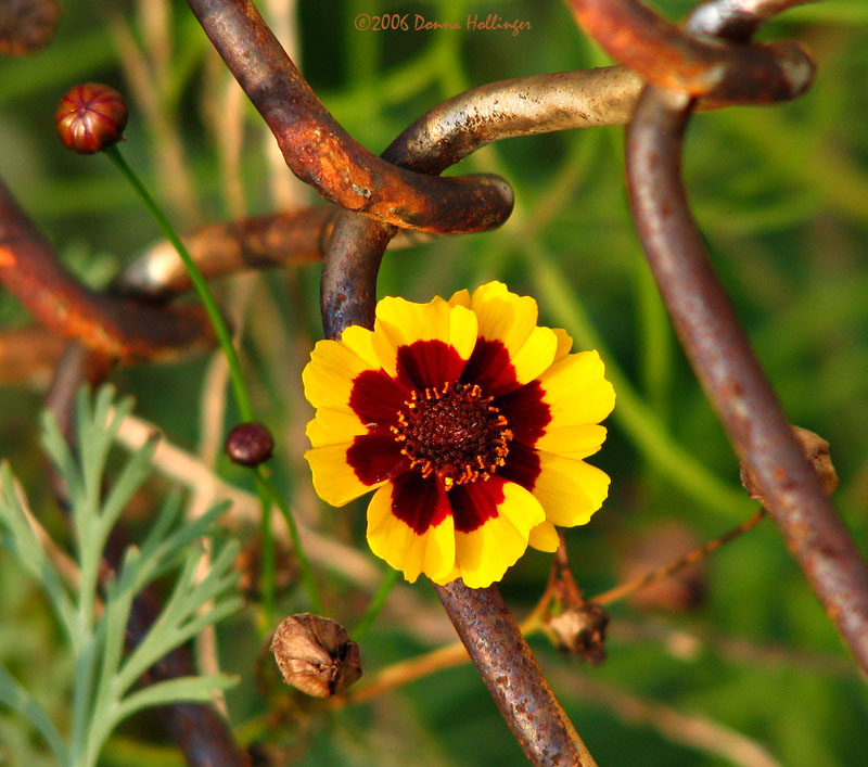 Coreopsis with mesh
