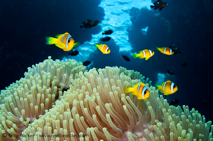 clownfishus maximus