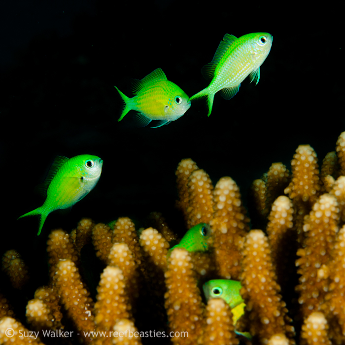 Green fishes