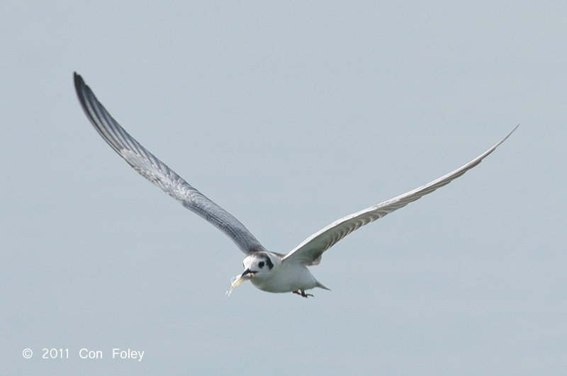 Tern, White-winged (juv) @ Kranji