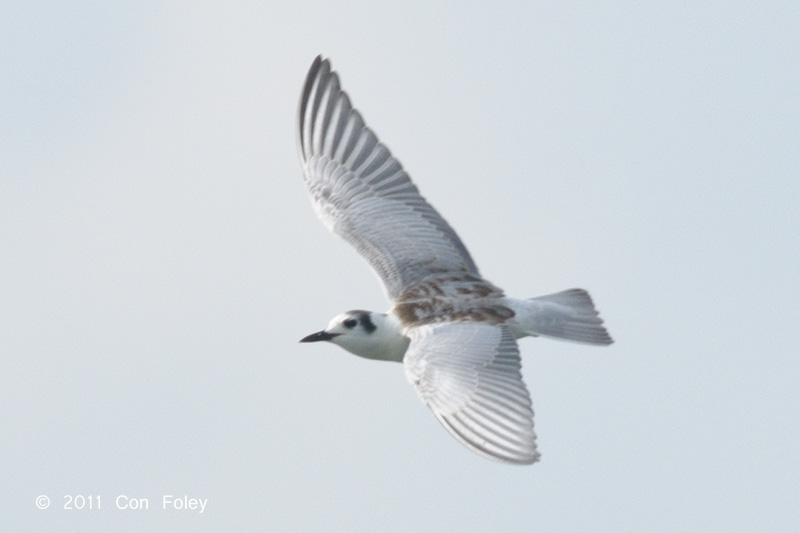 Tern, White-winged (juv) @ Kranji
