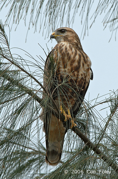 Buzzard, Common @ Changi