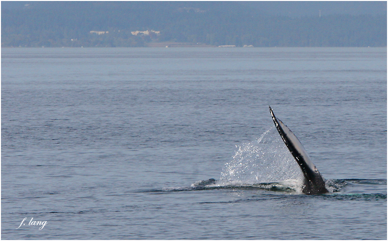 Humpback Whale immediately prior to surfacing ...