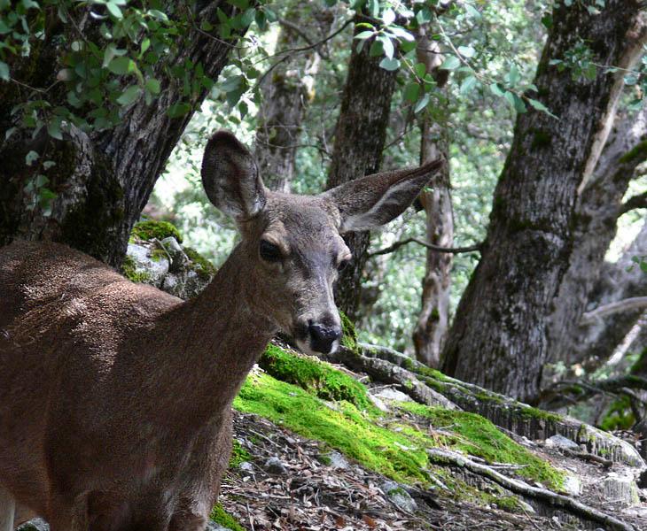 Deer on Upper Yosemite Falls trail