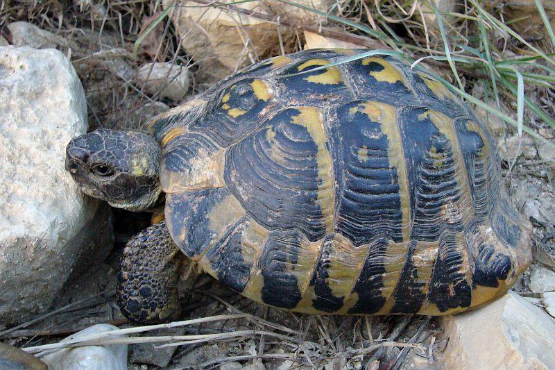 Tortoise near Berati