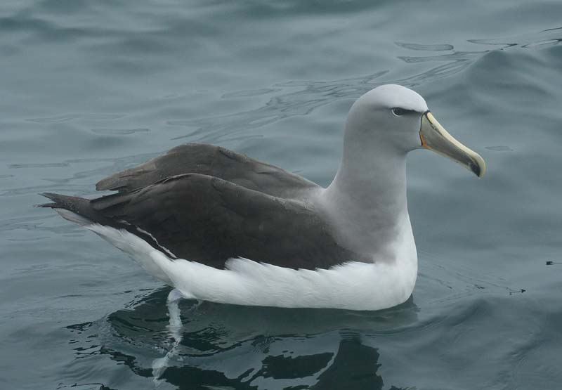 Salvins Albatross