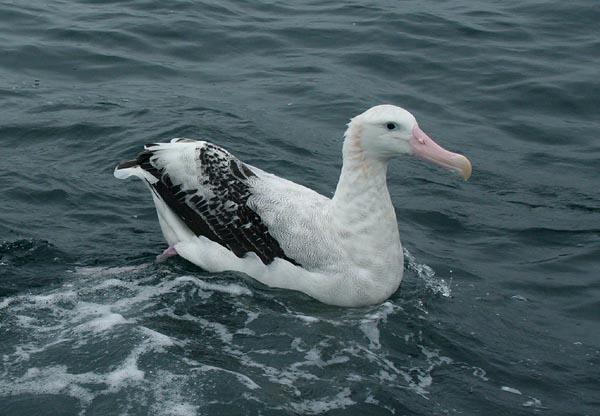 Snowy (Wandering ) Albatross