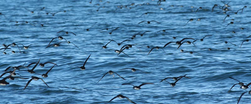 Huttons Shearwaters