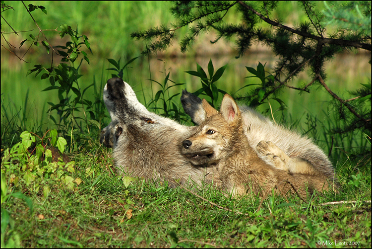 Wolf pup nipping