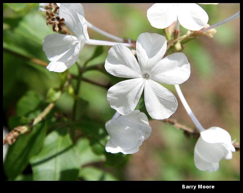 Jan 29 - five white petals