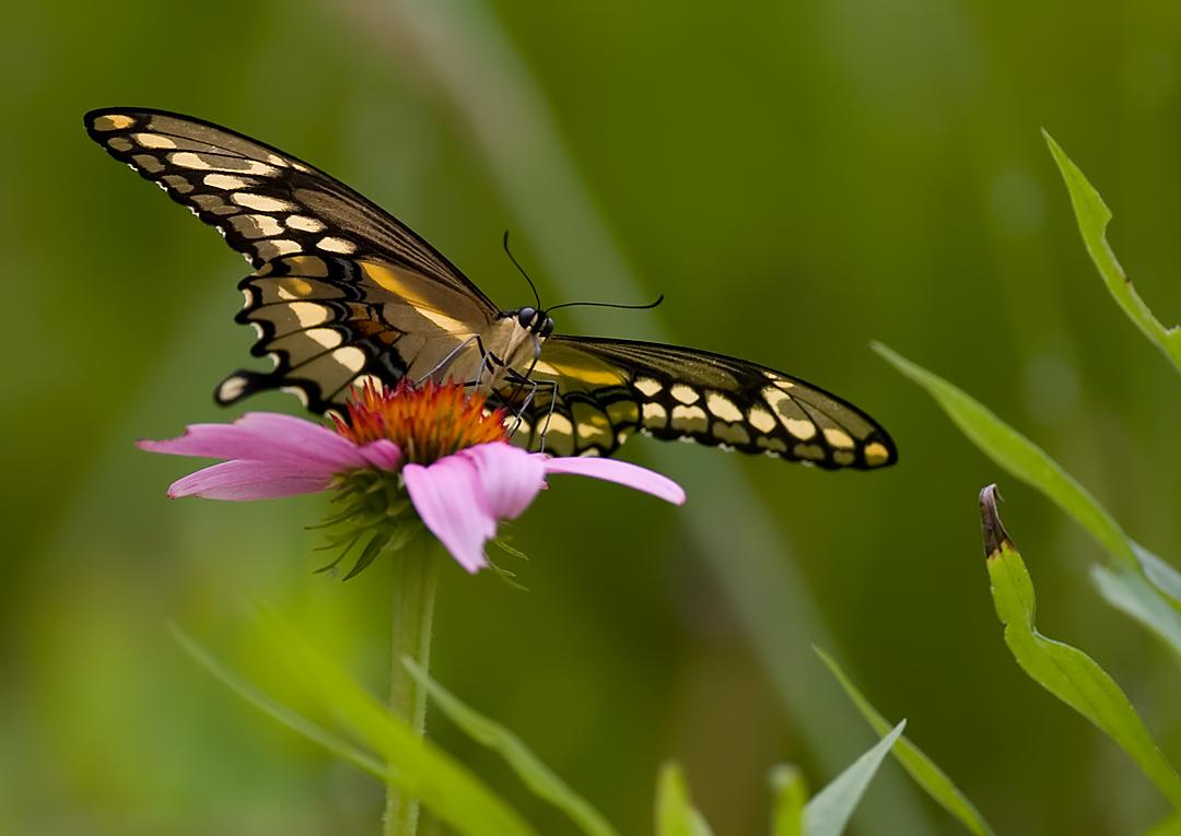 Yellow Swallowtail 7595