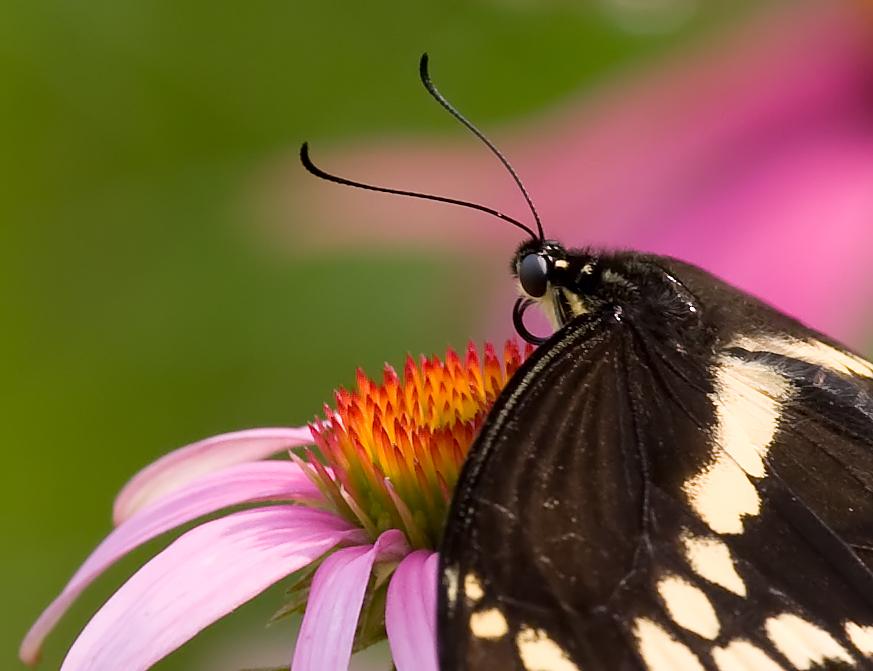 Black Swallowtail 7650