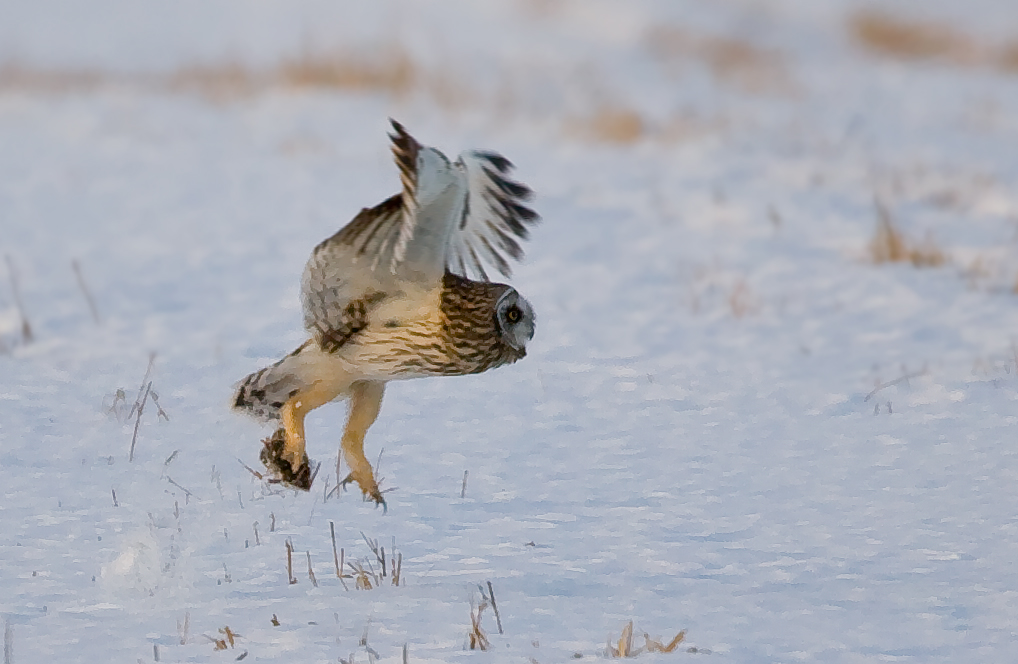 se-owl-flight-with-mouse.jpg