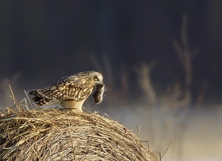 se-owl-mouse.jpg