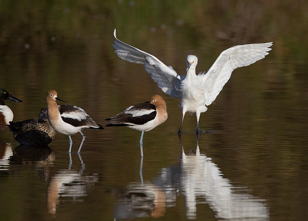 _I3W7582  Snowy Egret