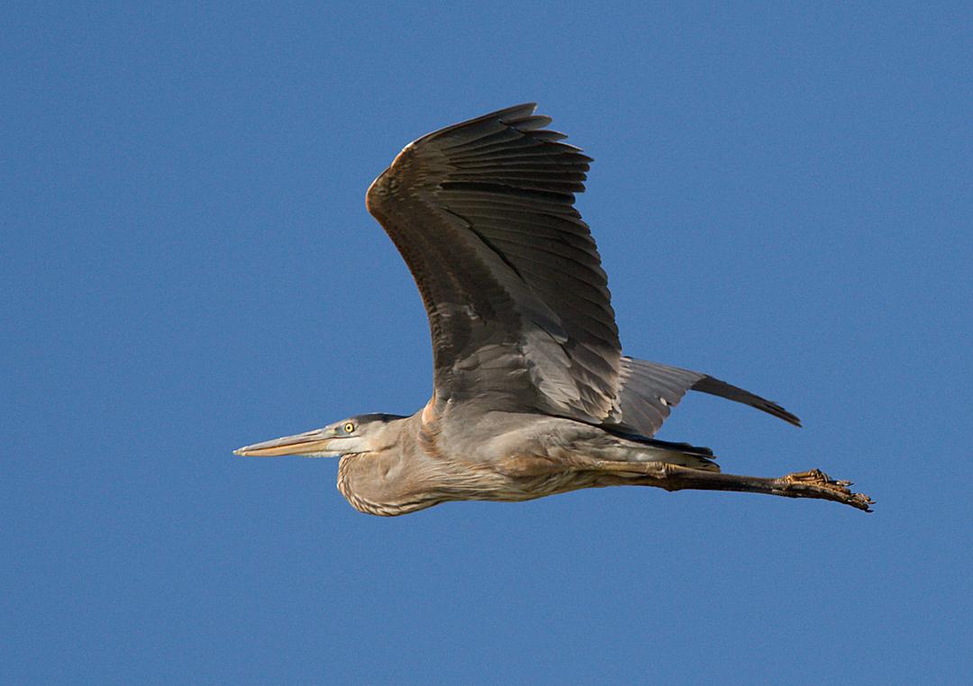 _I3W7661  Great Blue Heron