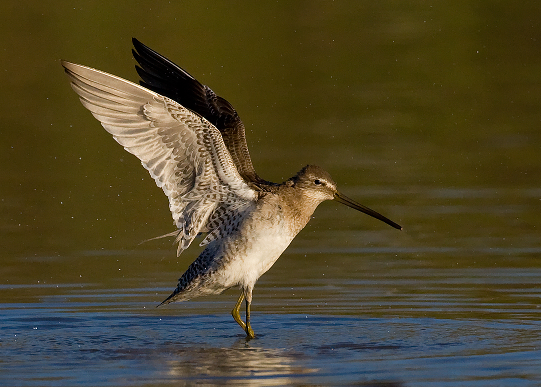 _I3W8166  Long-billed Dowitcher