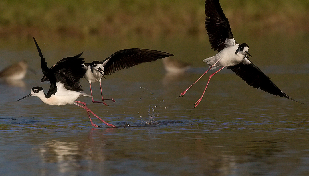_I3W8603  Black-necked Stilts