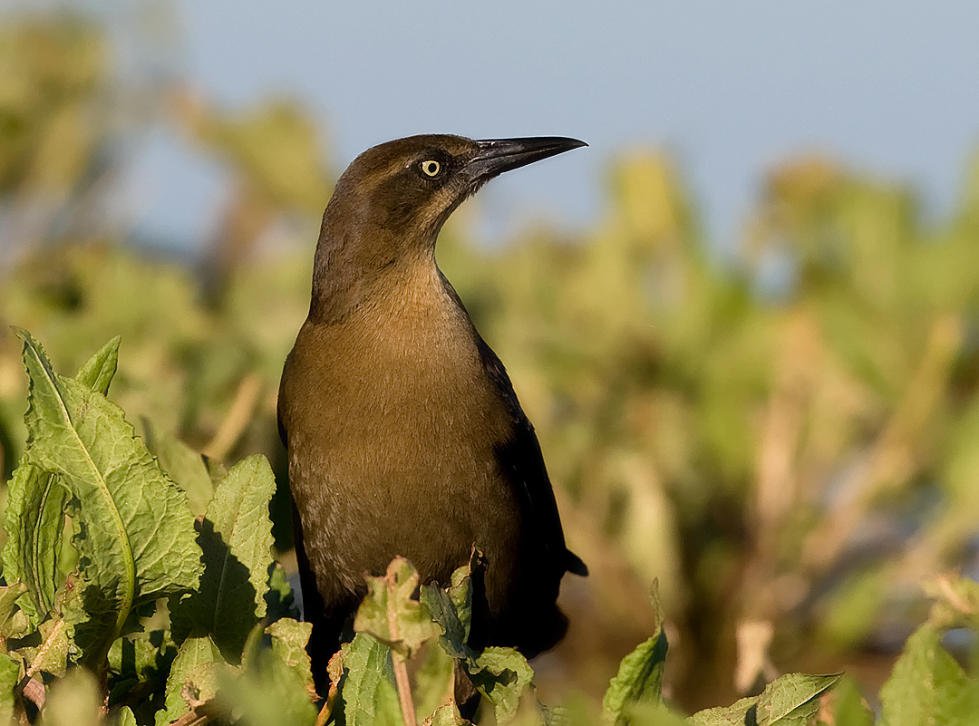 _I3W8677  Great-tailed Grackle female
