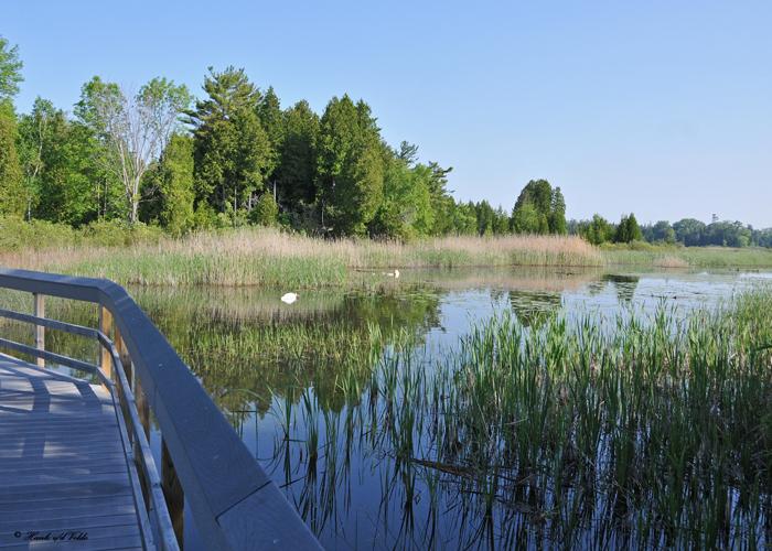 20110606 - 1 229 SERIES - Mute Swans.jpg