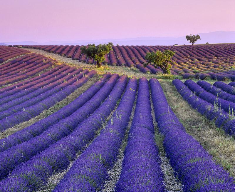 Lavender Junction