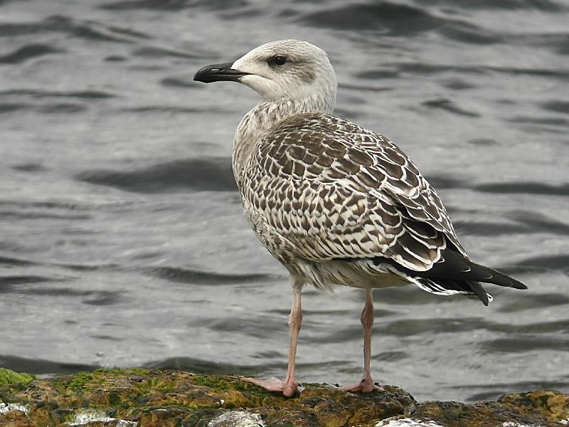 Havstrut - Great Black-backed Gull  (Larus marinus)