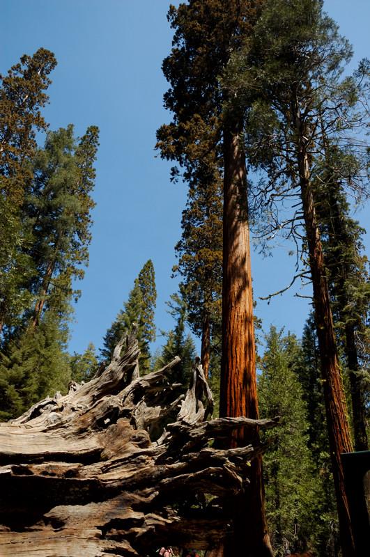Fallen Monarch - Mariposa Grove of Giant Sequoias