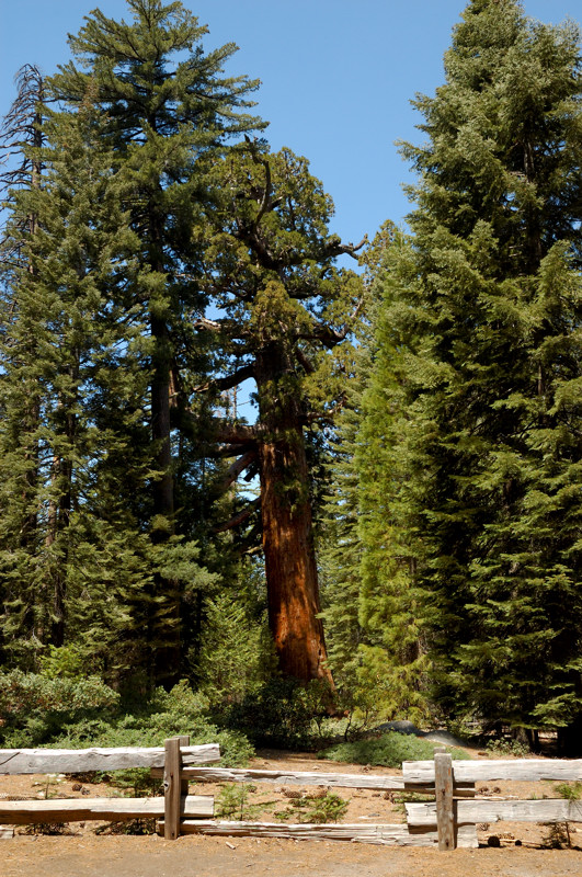 The Grizzly Giant Sequoia
