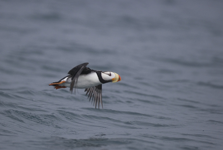 Horned Puffin takes off