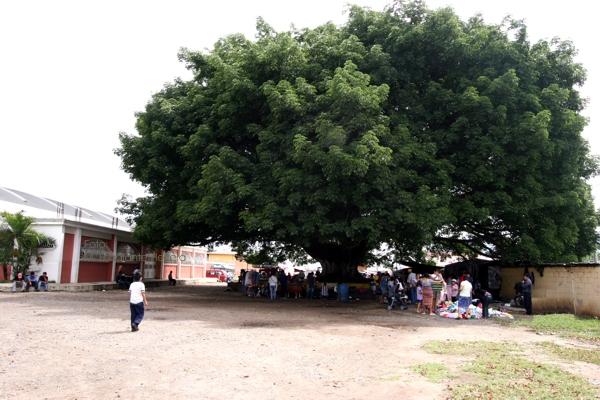 Ceiba Frente a la Iglesia Catolica