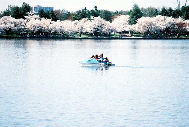 Laguna y Cherry Blossom