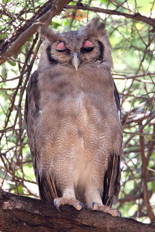 Verreauxs eagle-owl