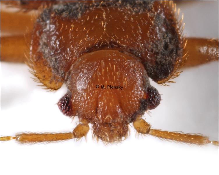 Bed Bug Portrait (Cimex lectularius)