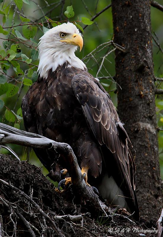 Alaskan Bald Eagle pb.jpg