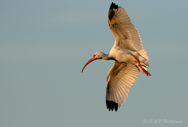 White Ibis in flight pb.jpg