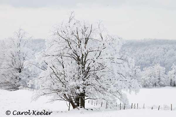 Tree Along the Fenceline