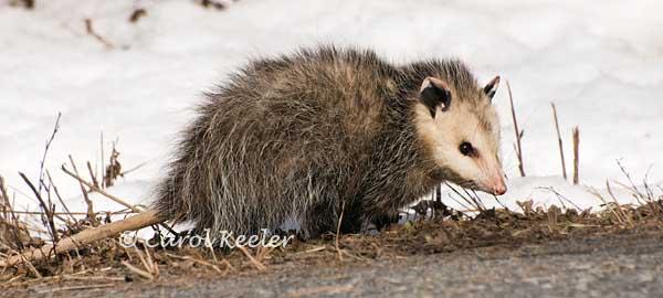 Wandering Opossum