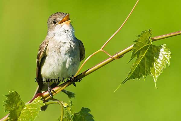 Willow Flycatcher Sings