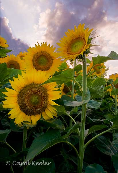 Sunflowers Before Sunset