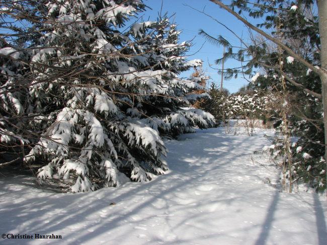 New woods in winter