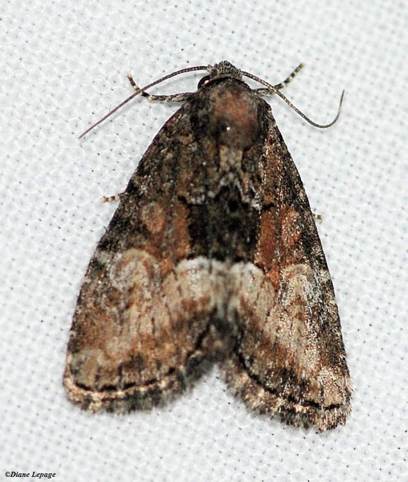 Cutworm moth (<em>Neoligia subjuncta</em>), #9412