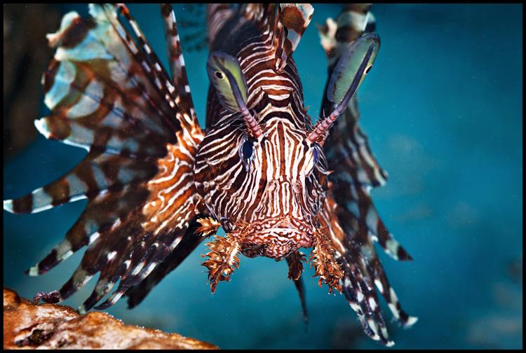 Lionfish Moso