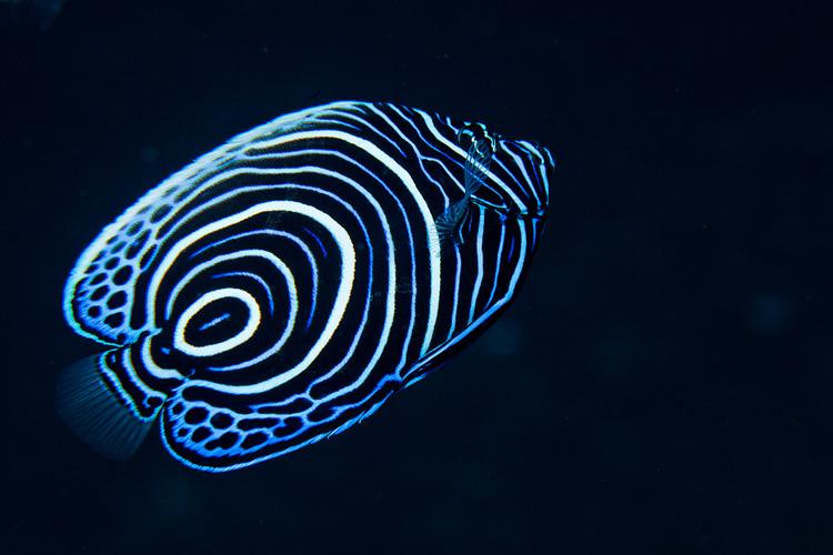 Juvenile emperor angelfish 1