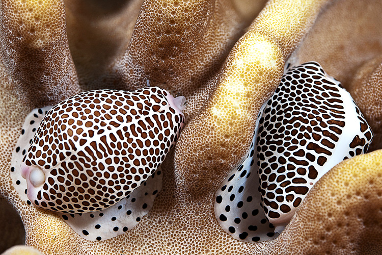 Calpurnus verrucosus cowrie