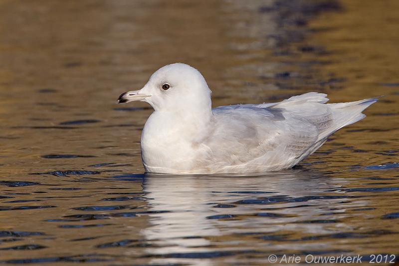 Iceland Gull - Kleine Burgemeester - Larus glaucoides